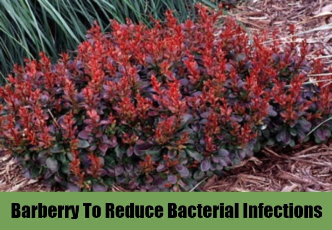 Barberry To Reduce Bacterial Infections