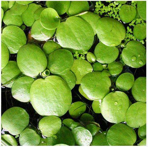 Floating Aquarium Plants Sale