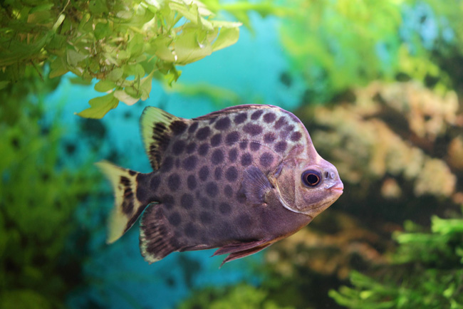 Green Scatscatophagus Argus For Sale At Azgardens Com