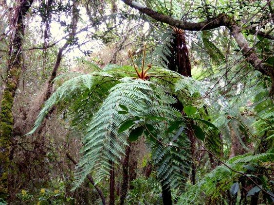 Varenboom of boomvaren? Pico Turquino