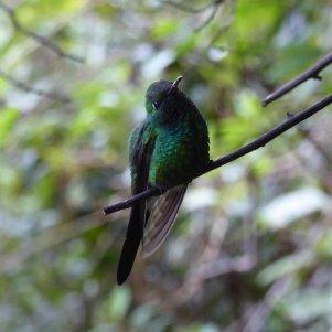 Deze kolibrie bleef voor de verandering eens wel netjes stil zitten voor de foto. Pico Turquino