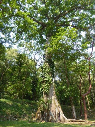 Nu is Elske niet zo heel groot, maar deze boom was echt gigantisch! Yaxchilän