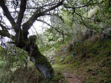 Mooie horror boom met Spaans mos (of is het haar van de Blair witch?!?). Onderweg naar Lachatao