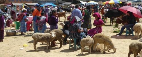 Schapies tellen op de veemarkt in San Francisco el Alto.