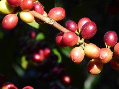 Druiven of koffie!? Matagalpa