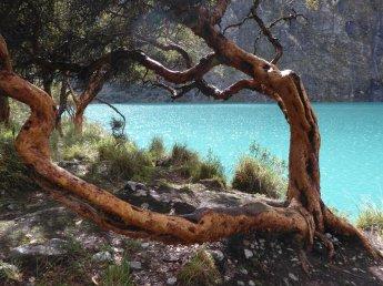 Mooi meertje met mooie boom. Lagunas Llanganuco