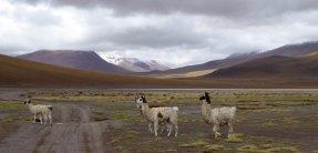 Lama crossing. Zuid Bolivia road trip
