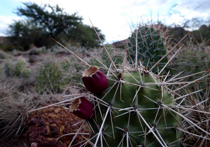 Cactus. Tupiza