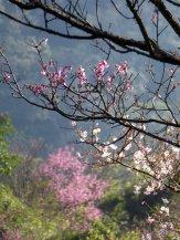 Bloesem. Yangmingshan NP