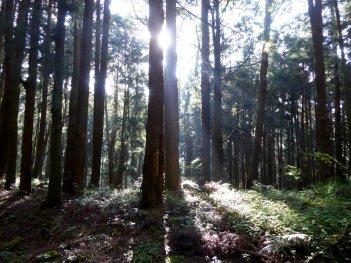 Mooi licht tussen de bomen door. Alishan NP