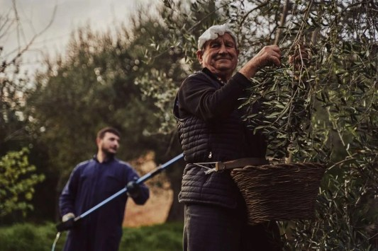nonno raccolta olive