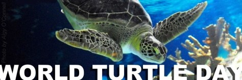 World Turtle Day cover banner header Sea Turtle swimming underwater photo by Algy O'Connell