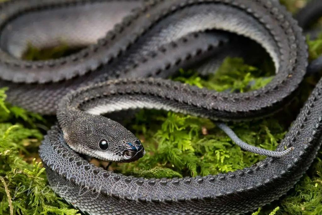 Dragon Snake: Care, Size, Temperament & Breeding - AZ Reptiles