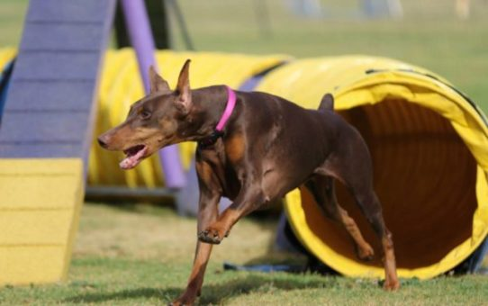 Getting to Know the Doberman