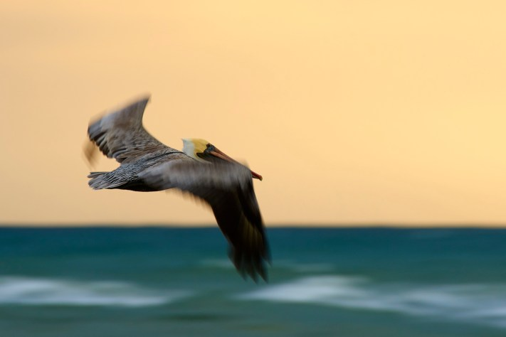 Brown Pelican at Sunrise. Success in Photography - Work to Create Opportunities