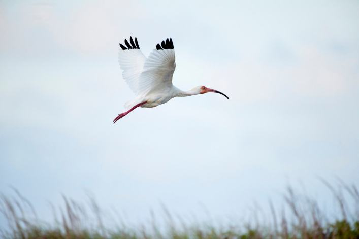 Padre Island Photo Workshop - Ibis in Flight - Bird Photography