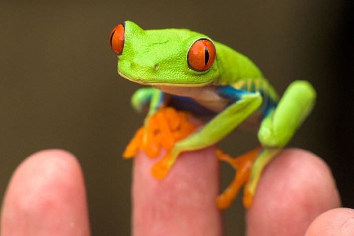 Costa Rica - Red Eyed Tree Frog - Edited with Mobile Workflow