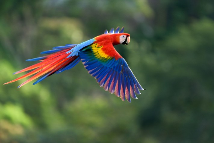 Costa Rica - Scarlet Macaw in Flight - Edited with Mobile Workflow