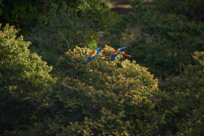 Macaws in flight at a distance wildlife photography.