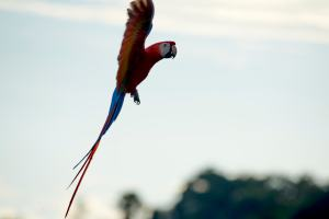 Scarlet Macaws in Flight - Manuel Antonio Costa Rica