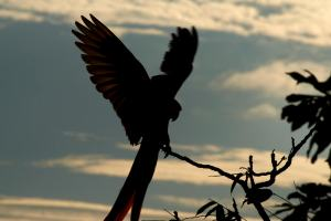 Scarlet Macaws Landing - Manuel Antonio Costa Rica