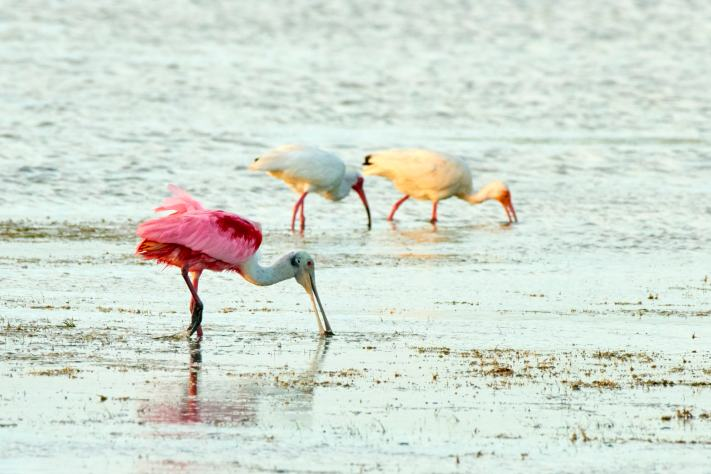 Padre Island - Roseate Spoonbills - Birding Photography Workshop