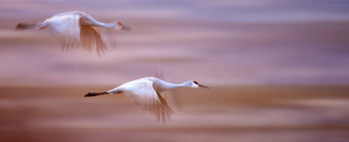 A pair of sandhill cranes fly in formation - long exposure of birds.