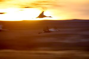 Throwaway slow shutter speed photos of sandhill cranes in flight.