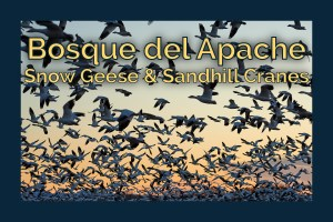 Chasing birds at Bosque del Apache