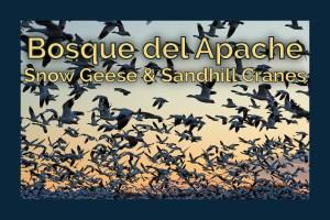 Chasing birds at Bosque del Apache