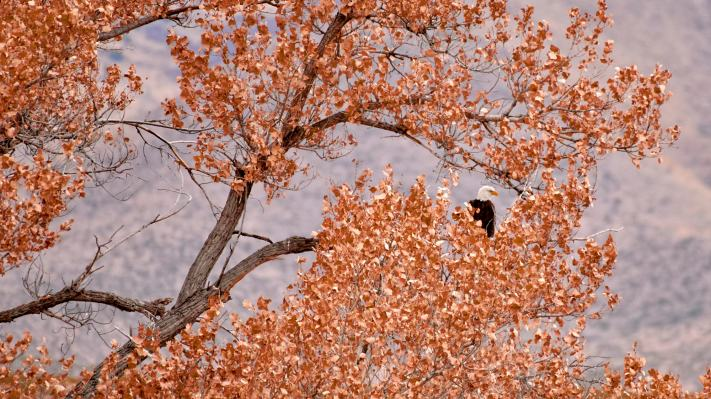 A bald eagle sitting in a tree with fall colored leaves..
