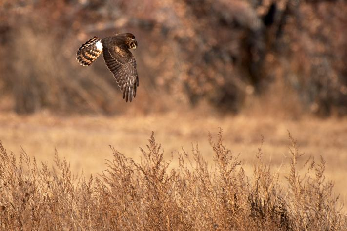 A norther harrier hunts for prey among the tall grass.