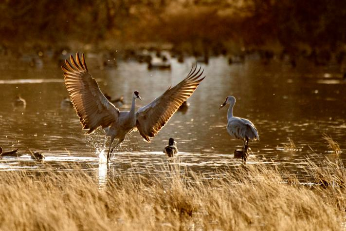 A lone crane splashes down in a pond at sunset.