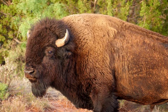 A bison from the Texas state bison herd at Caprock Canyon State Park