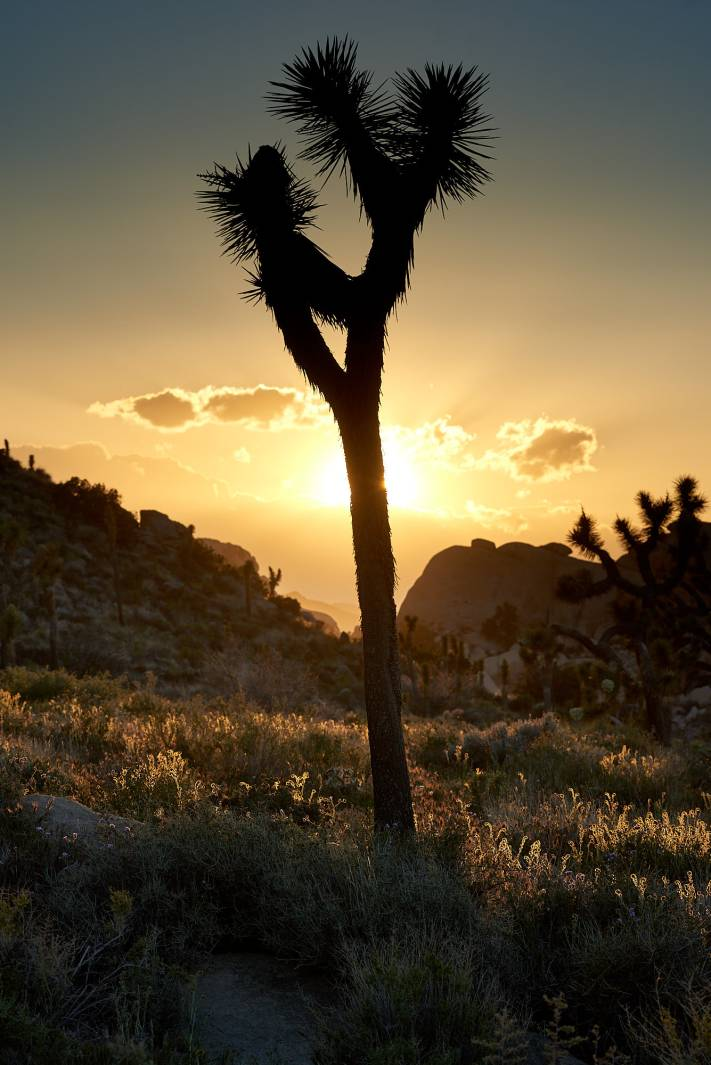 Landscape Photography of a Joshua Tree Silhouetted Against Sunset.