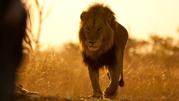 a lion is symbol of power and influence