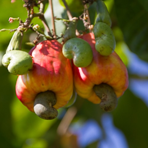 Cashew nut growing on a rose apple fruit