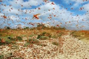 Locust Terror In India