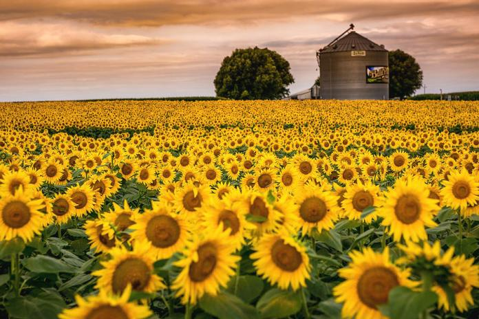 Sunflower field in Iowa