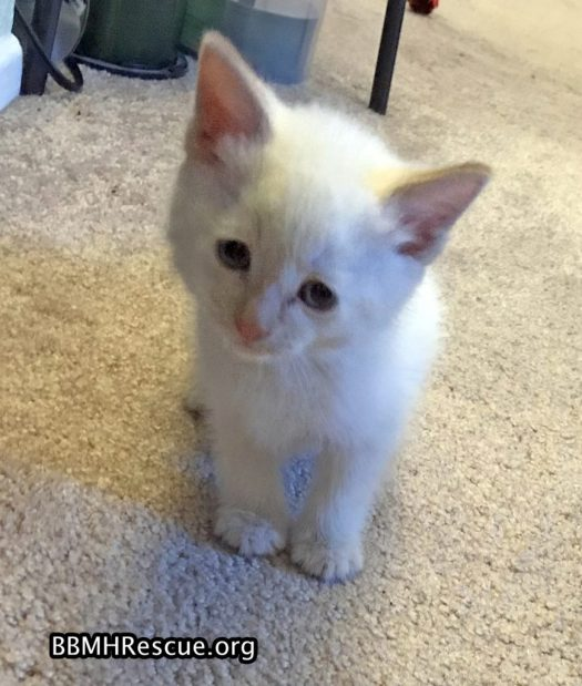Flamepoint Siamese Kittens Foster Home Update - BBMHR