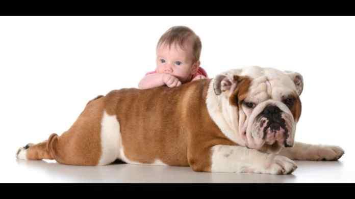 10 razze di cani per bambini piccoli e neonati - bulldog