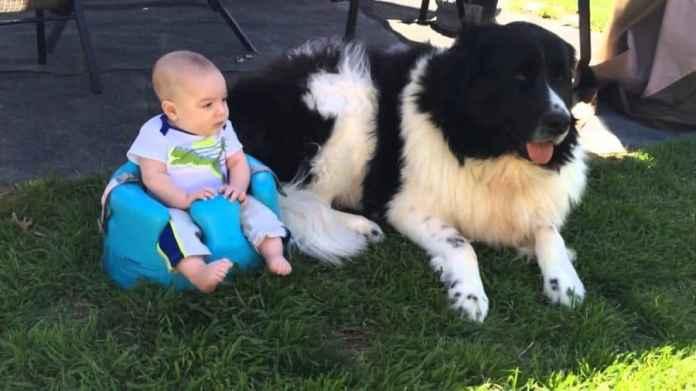 10 razze di cani per bambini piccoli e neonati - terranova