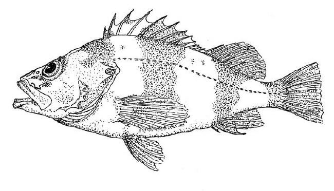 pin bass fish colouring pages page 2 on pinterest
