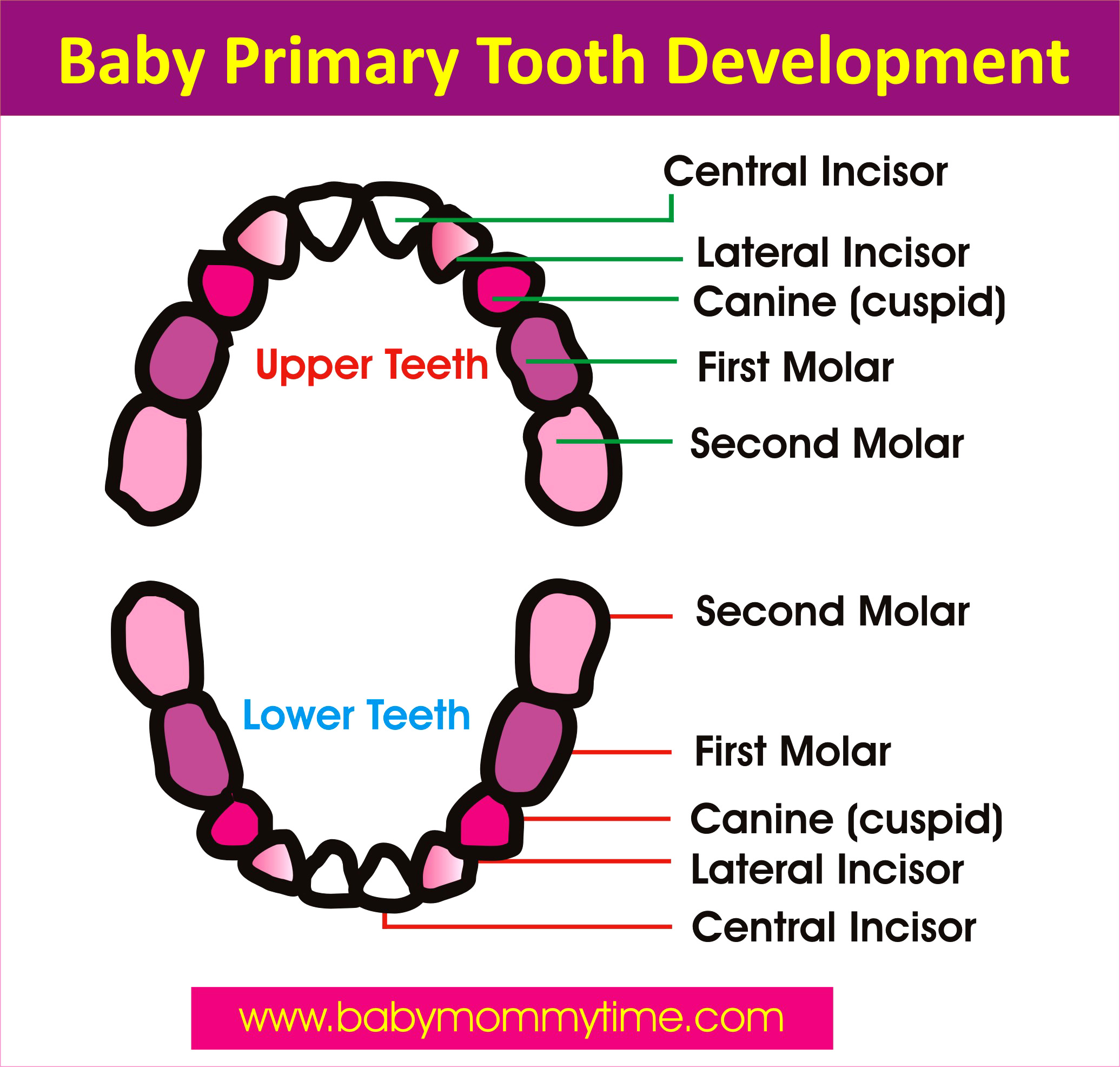 Baby Primary Permanent Tooth Eruption Chart Babymommytime Top