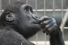 black ape, reflecting after a children's birthday party