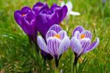 crocuses in bloom for post on baby bouncer giveaway