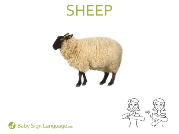Sheep Baby Sign Language Flash card