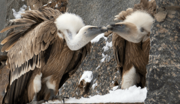 Gay Male Vulture Couple Become Proud Parents at Amsterdam Zoo