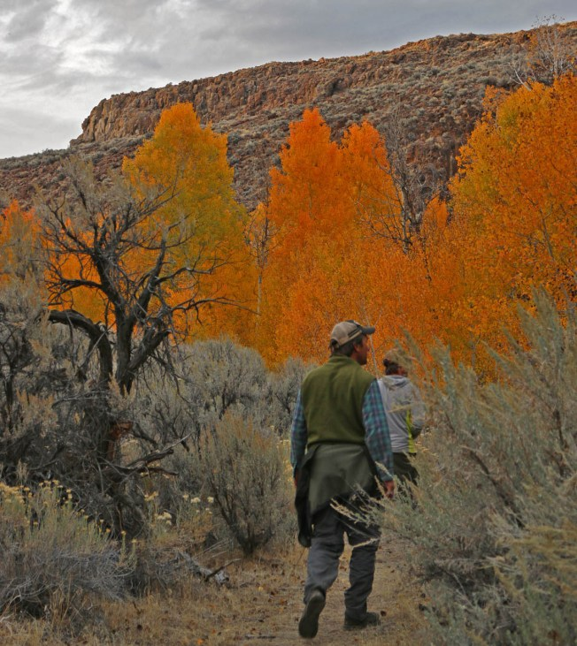 Aspens in fall -- Black Rock Desert