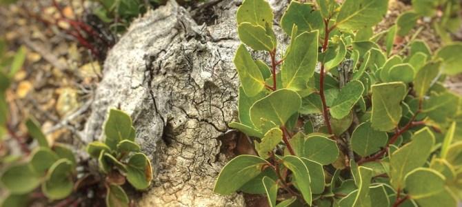 Obligate & Facultative Seeding Manzanitas